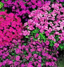Aubrieta Large flowered Hybrid - Appx 1000 seeds